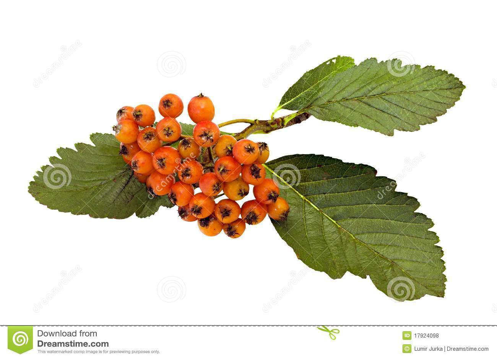 Terreno comunale Whitebeam della frutta