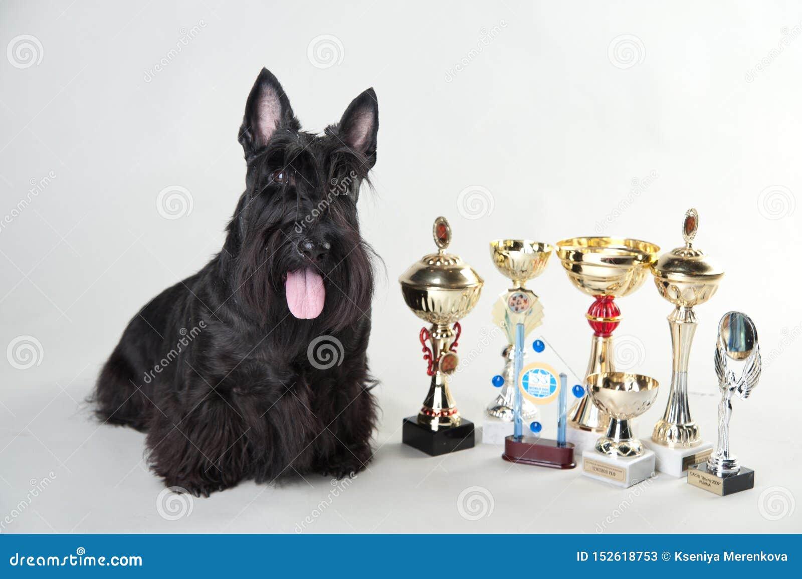 Terrier écossais avec des médailles et des tasses