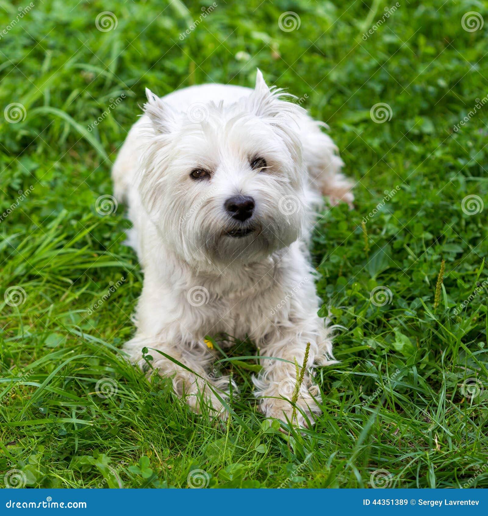 Terrier bianco di altopiano ad ovest