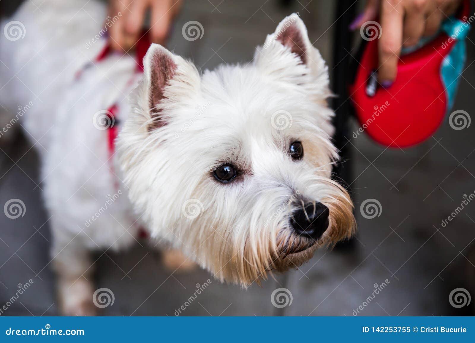 Terrier bianco