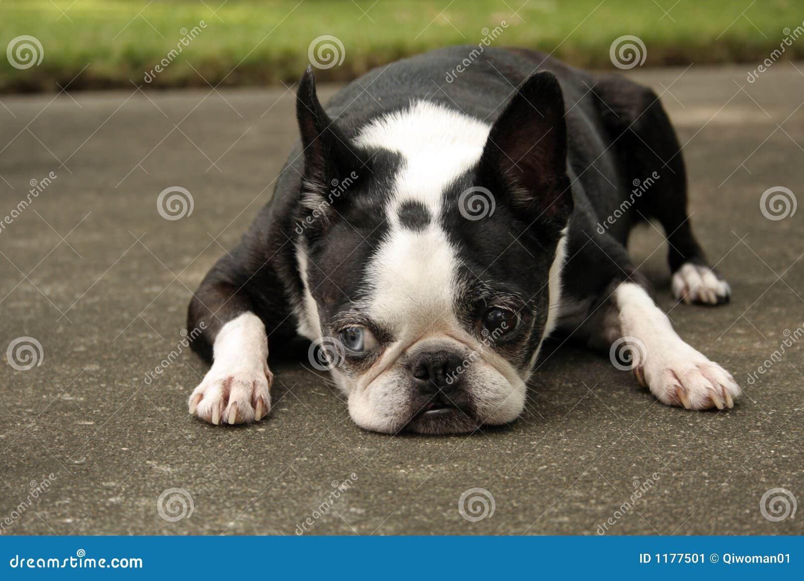 Terrier boston вниз лежа