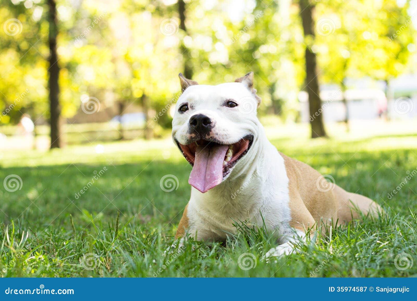 Terrier cansado de Staffordshire