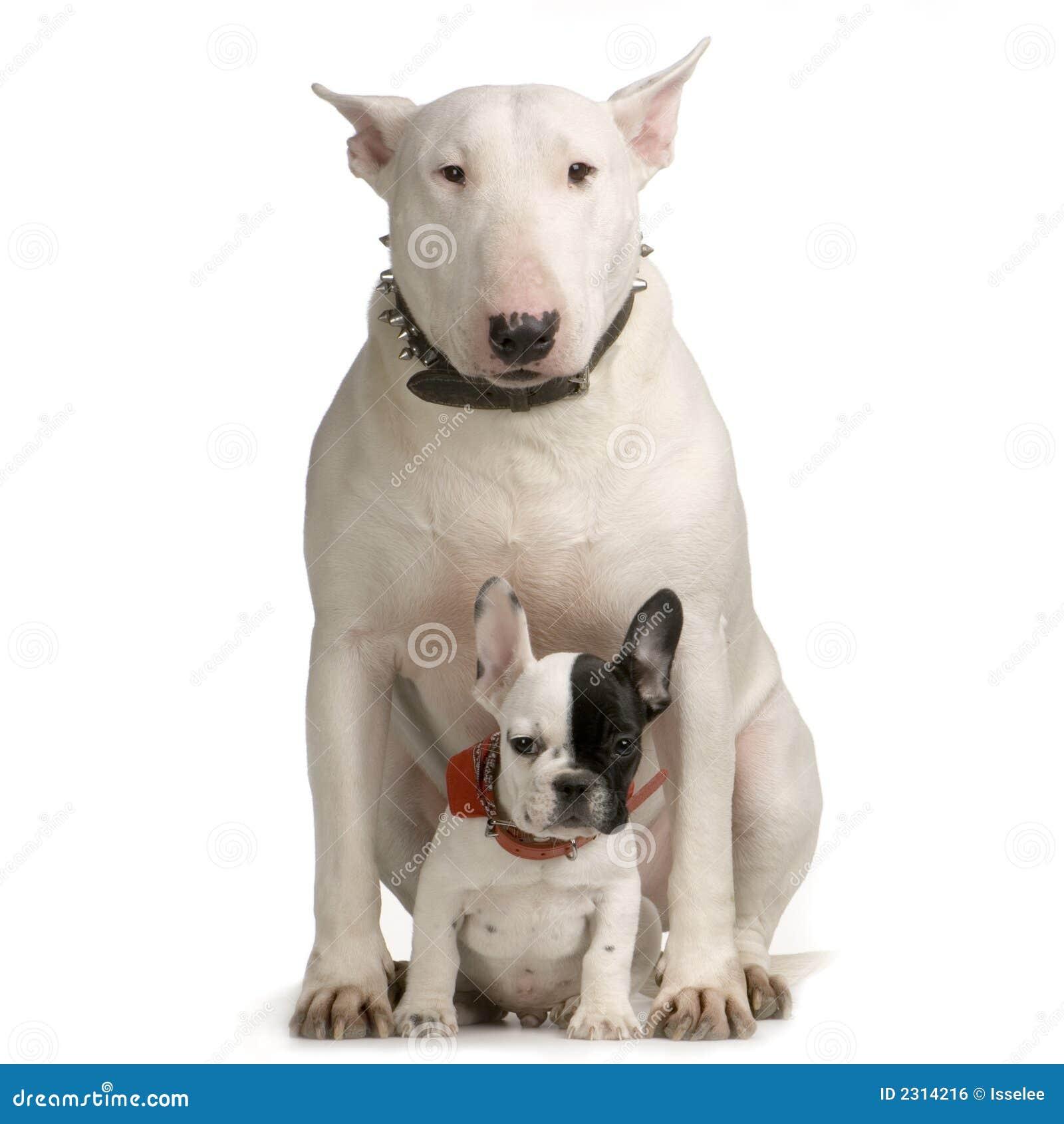 Terrier de Bull