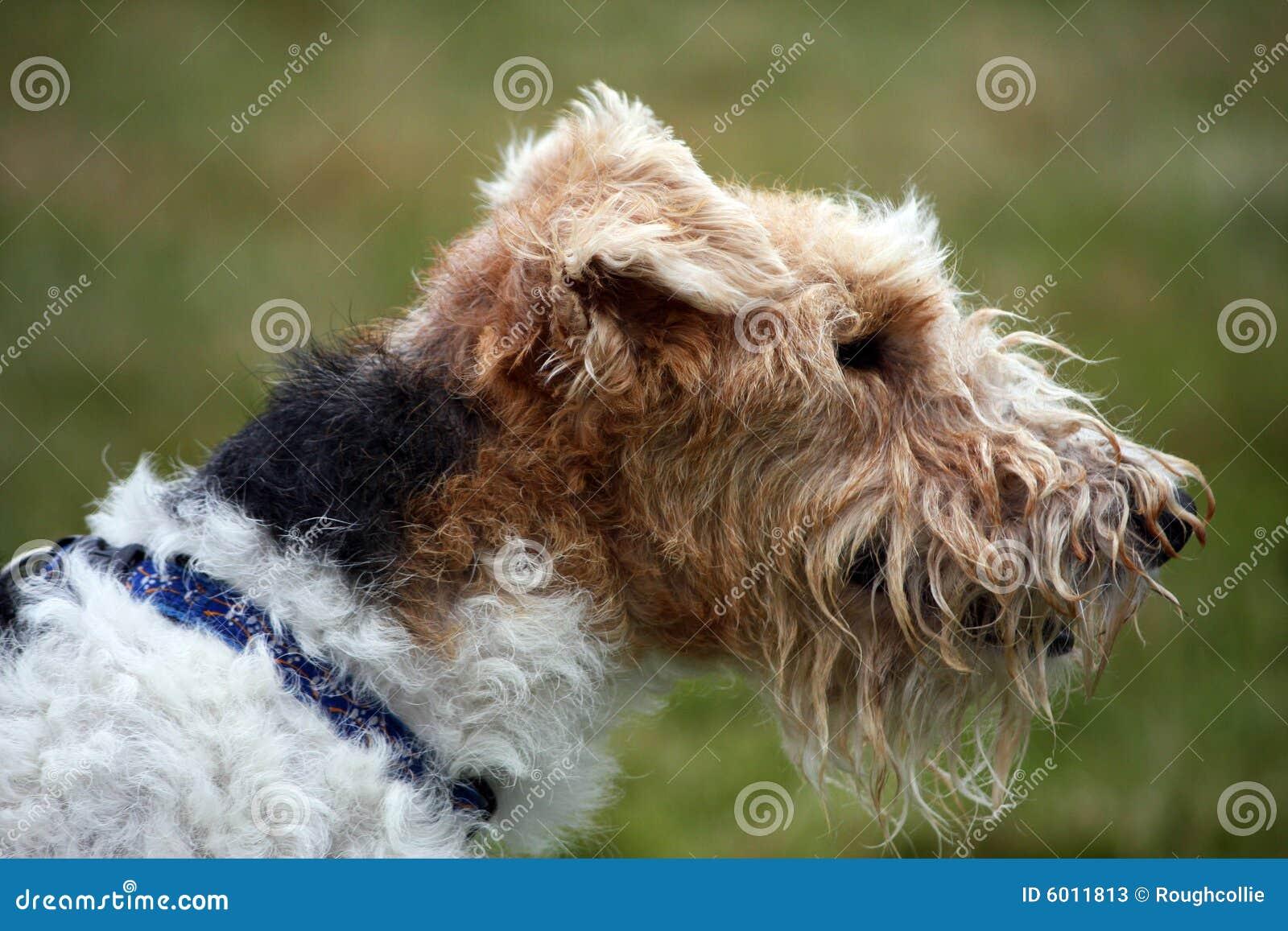 Terrier de Fox wire-haired