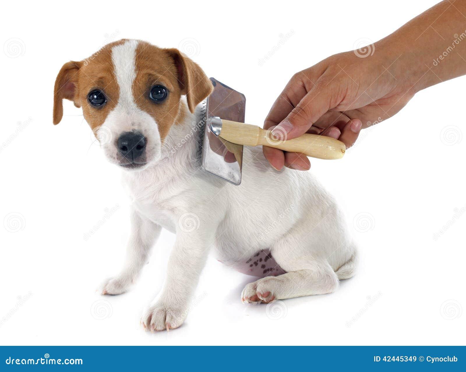 Terrier de Jack Russel del perrito