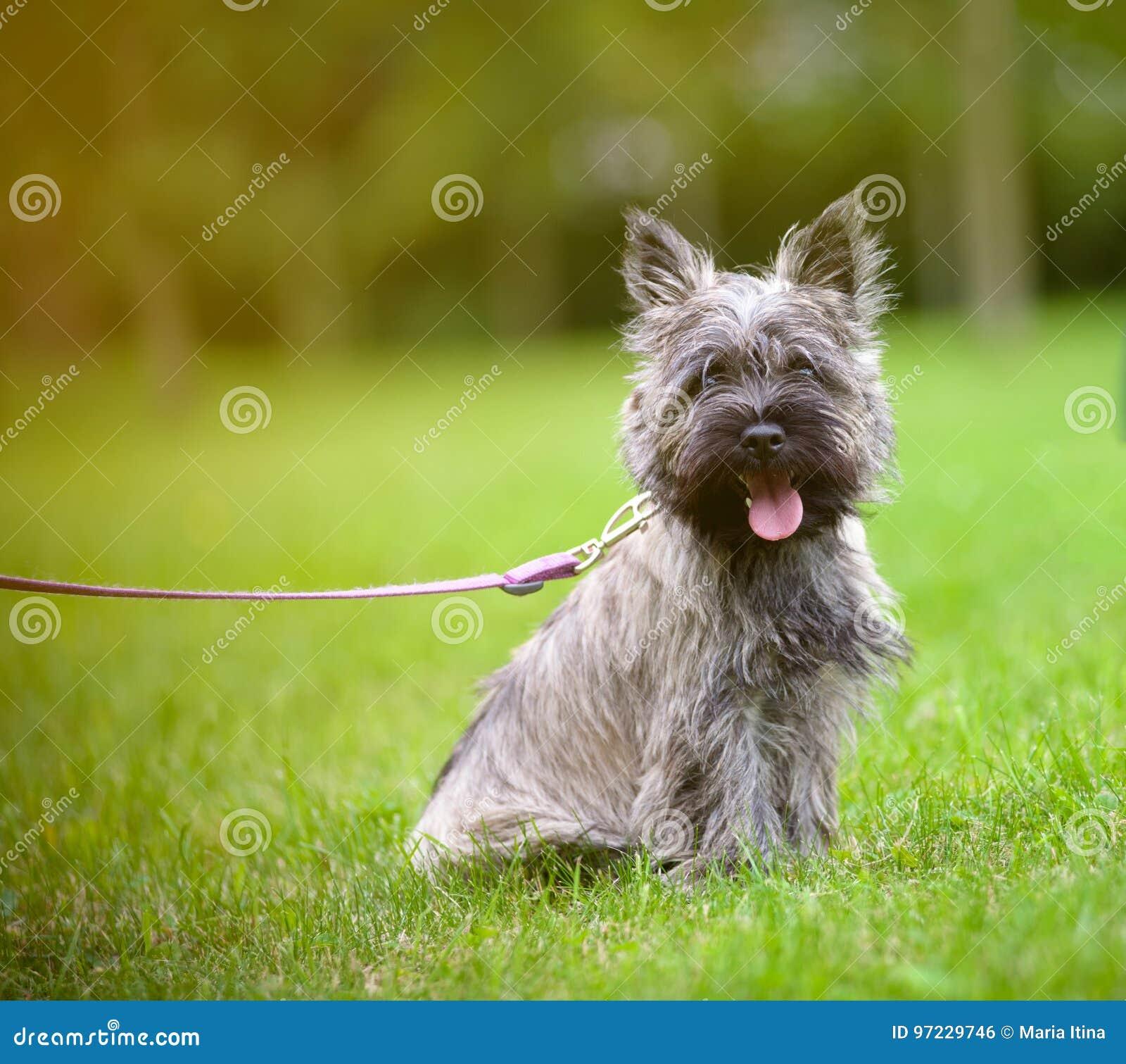 Terrier de mojón en un paseo