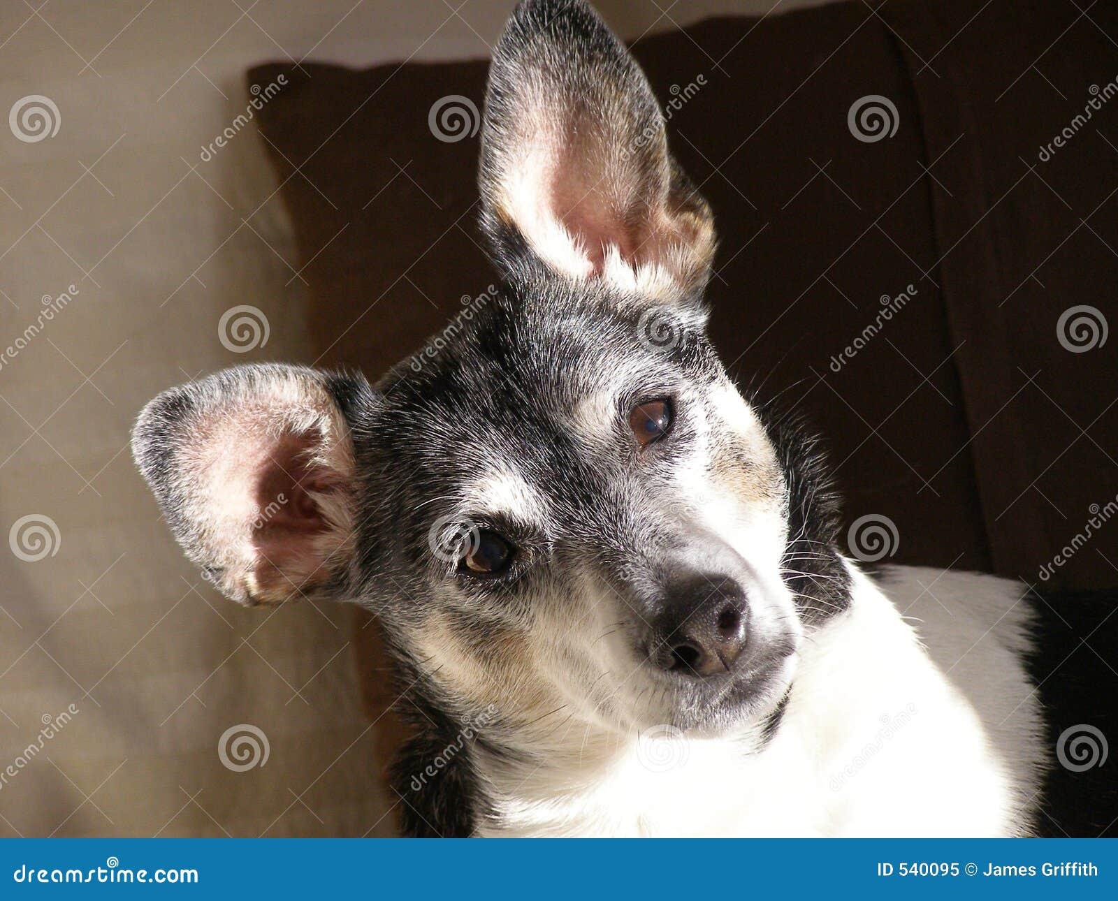 Terrier de rato