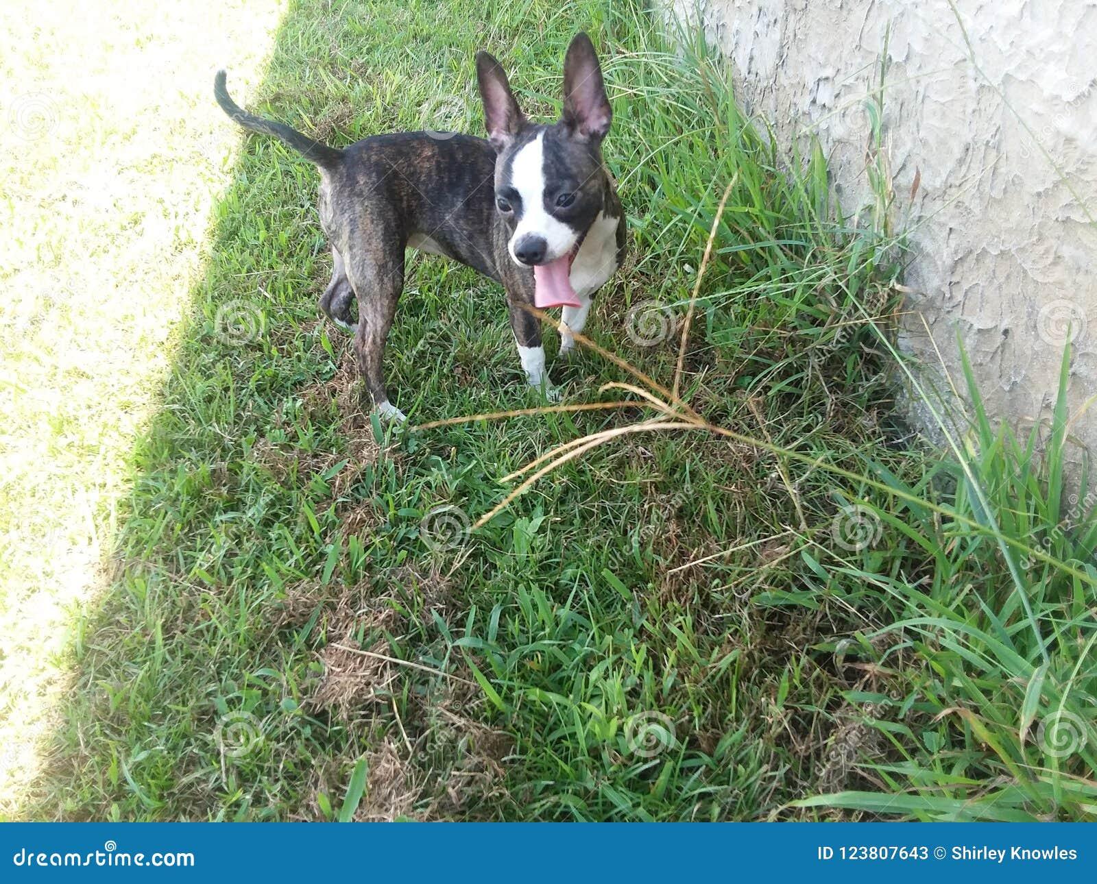 Terrier de rato de Boston/chihuahua