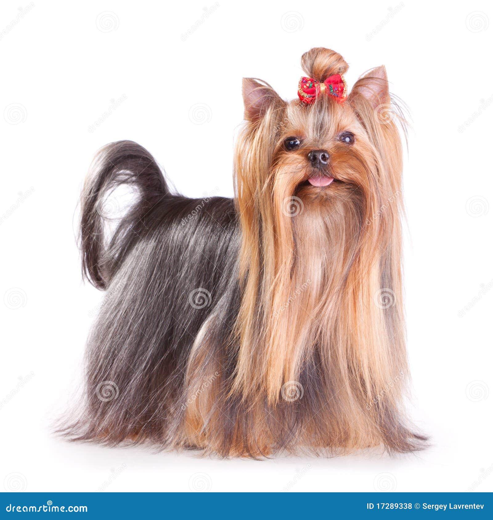 Terrier de Yorkshire