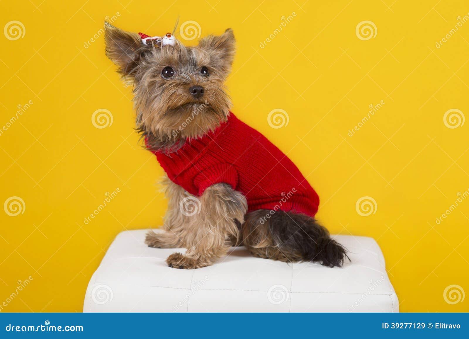 Terrier de Yorkshire de chien