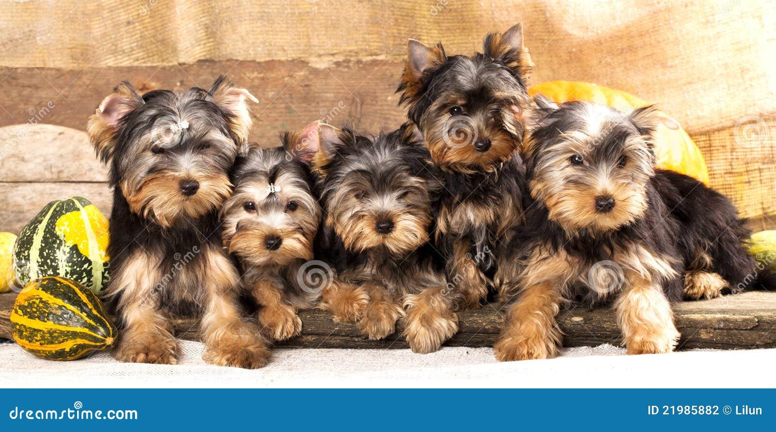 Terrier de Yorkshire dos filhotes de cachorro