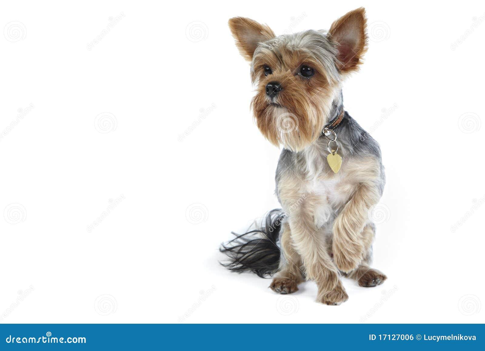 Perda do cabelo em um cachorro