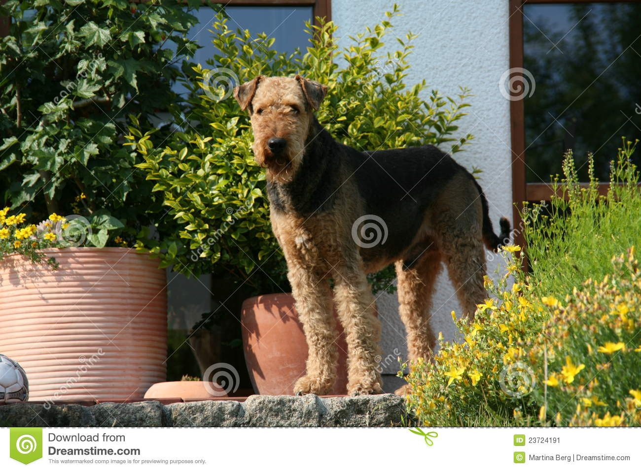 Terrier del Airedale