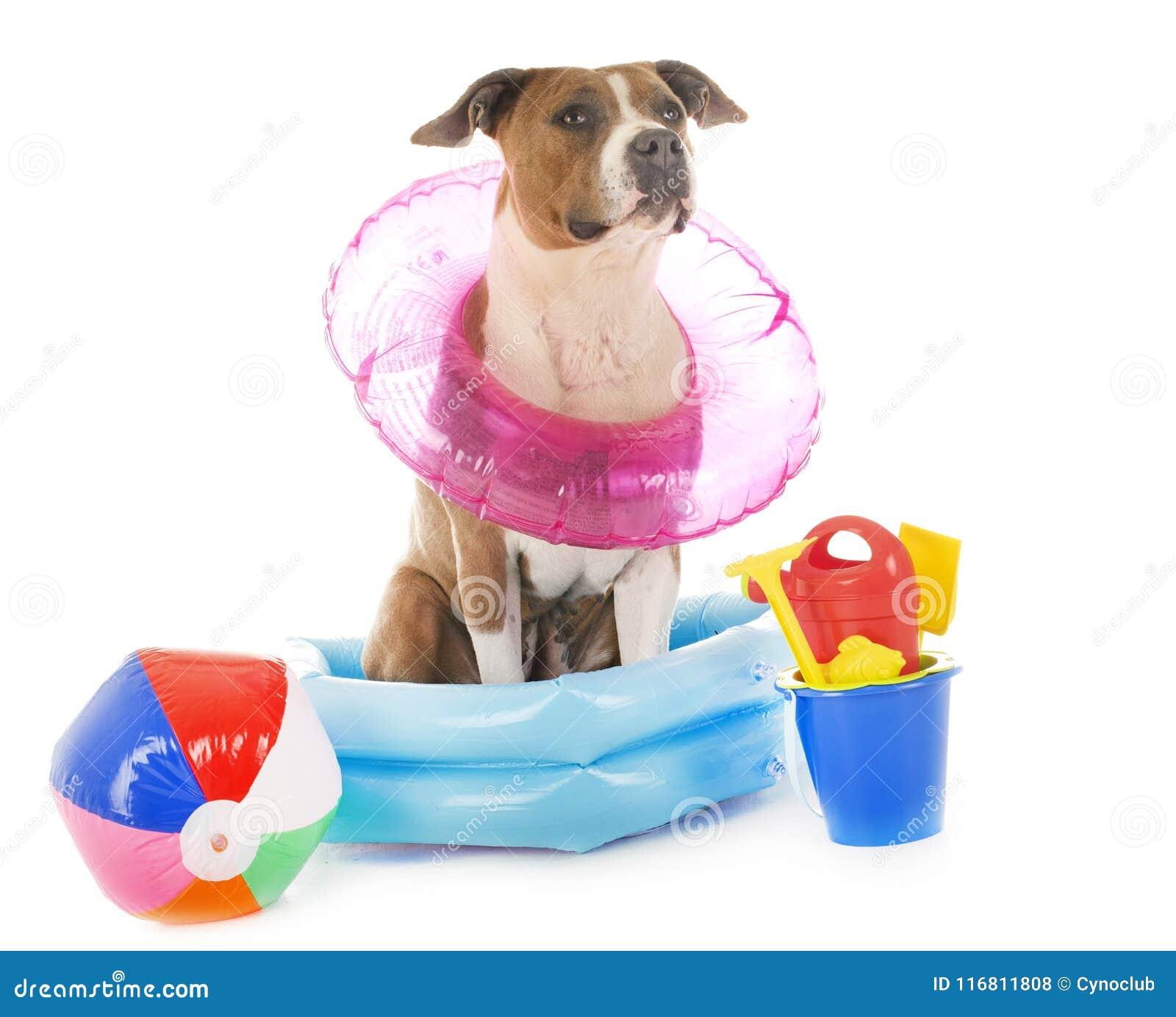 Terrier di Staffordshire americano nelle feste