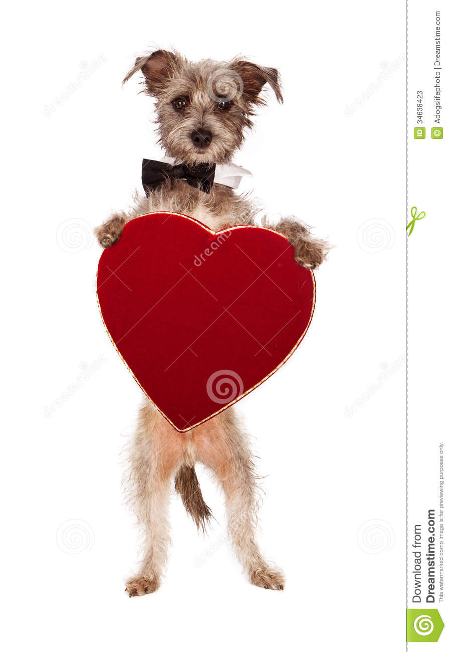 Terrier Dog Holding Heart Stock Photos Image 34638423