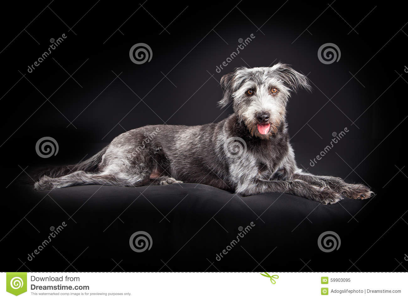 Mixed Breed Large Scruffy Dog Laying Down Royalty-Free ...