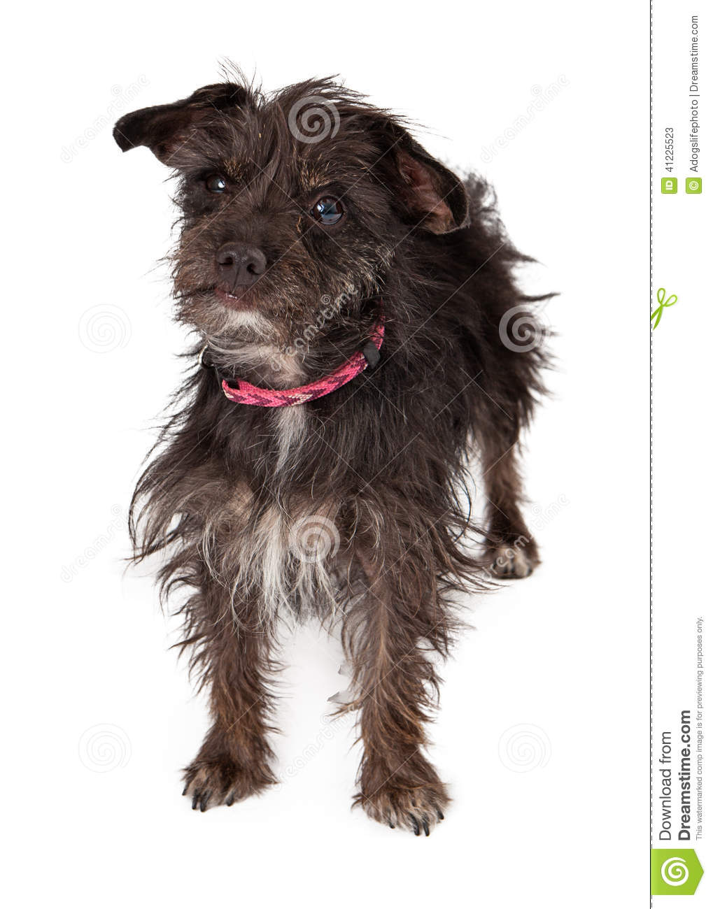 Terrier Female Mixed Breed Wire-haired Stock Image - Image ...