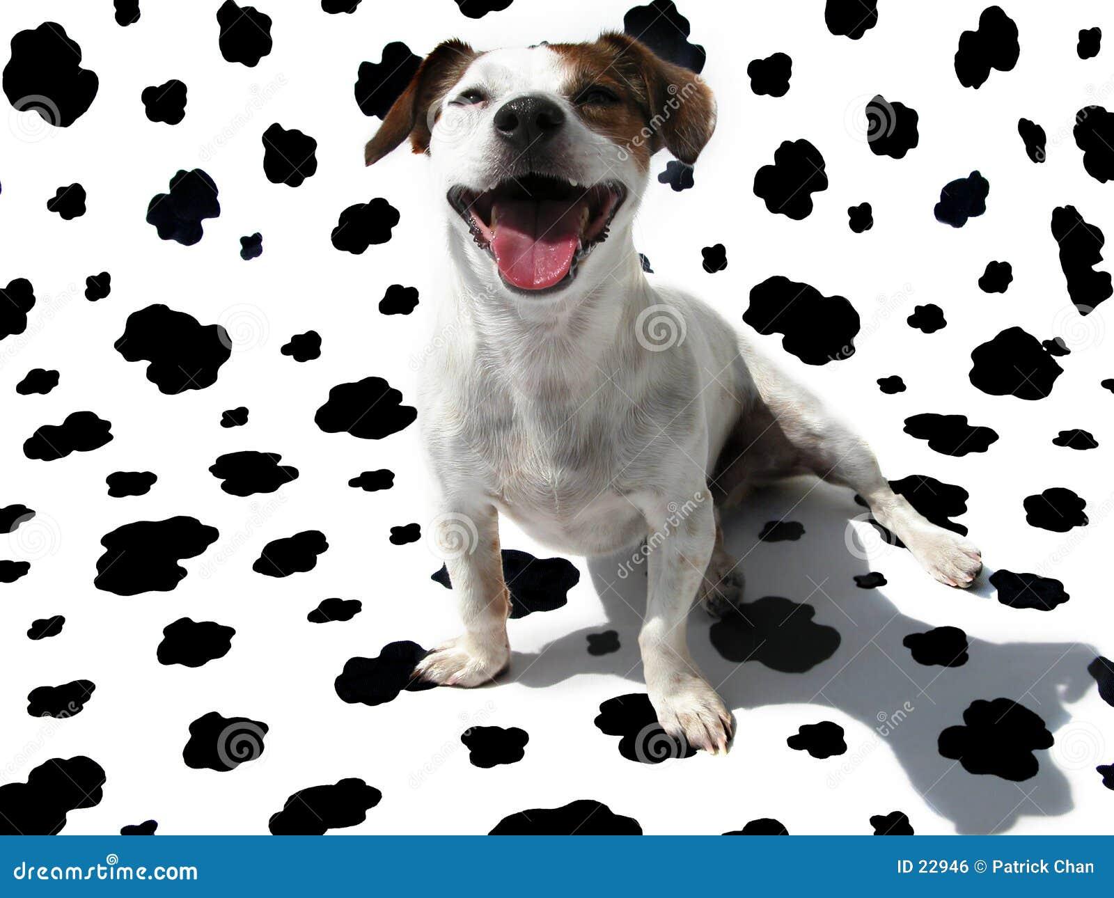 Terrier JRT del Jack Russell sulla tela di canapa della mucca