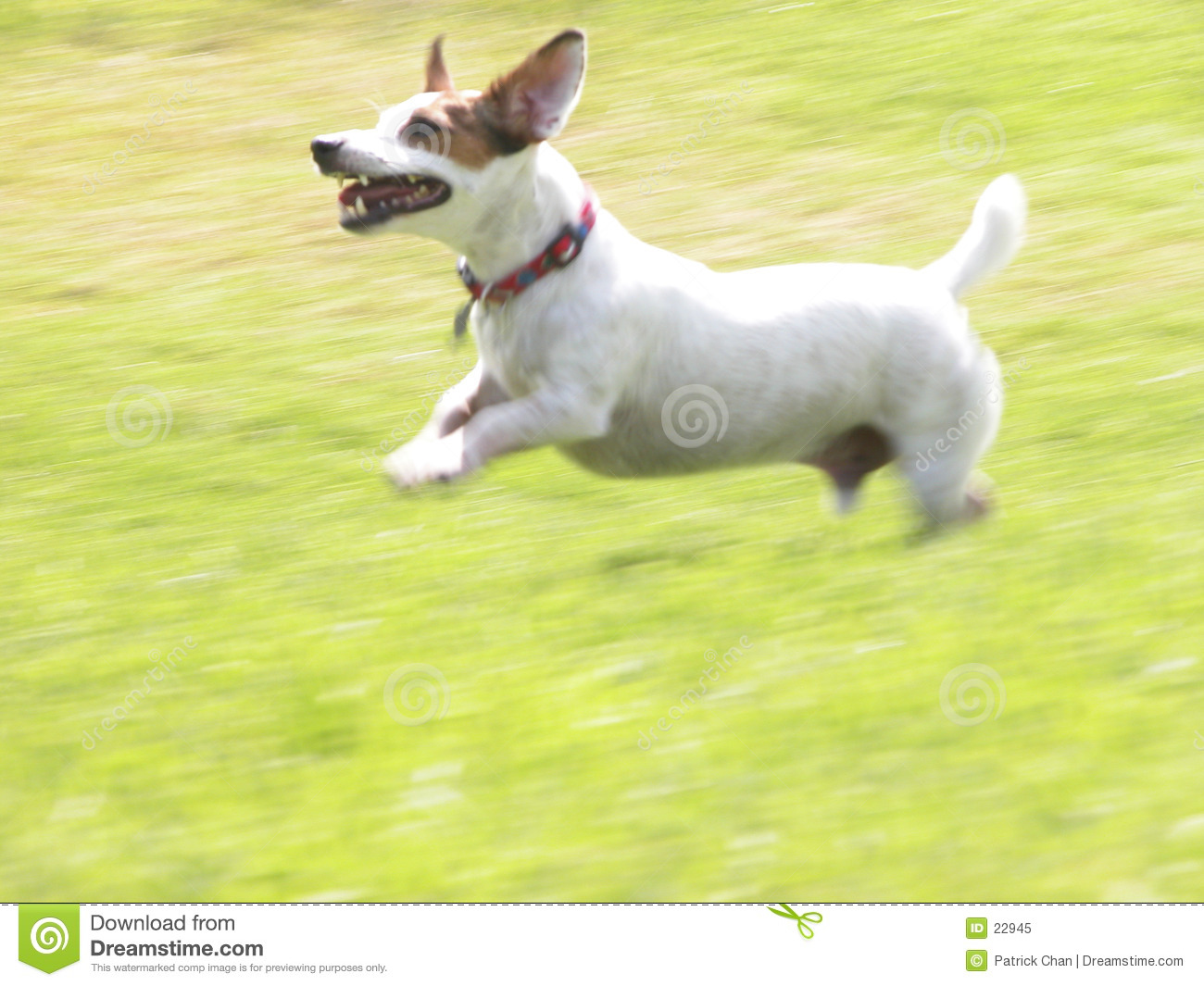 Terrier JRT Jacob del Jack Russell che esegue 01