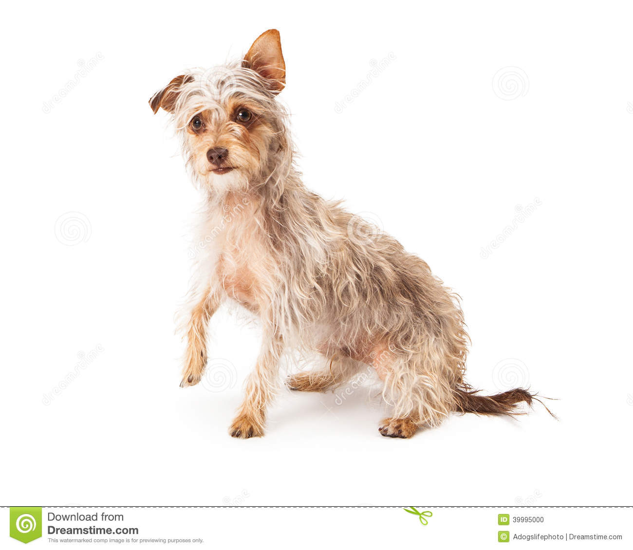 cute long wire-haired terrier mixed breed dog against a white backdrop ...