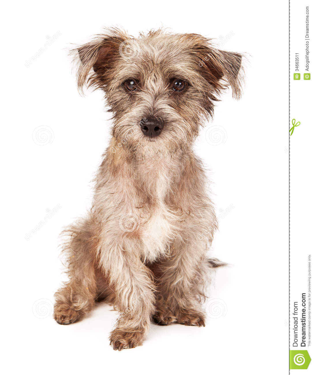 Scruffy Terrier Breeds | Dog Breeds Picture