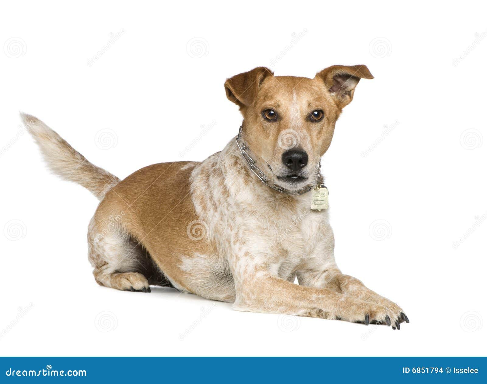Terrier russel jack лисицы собаки breed смешанный