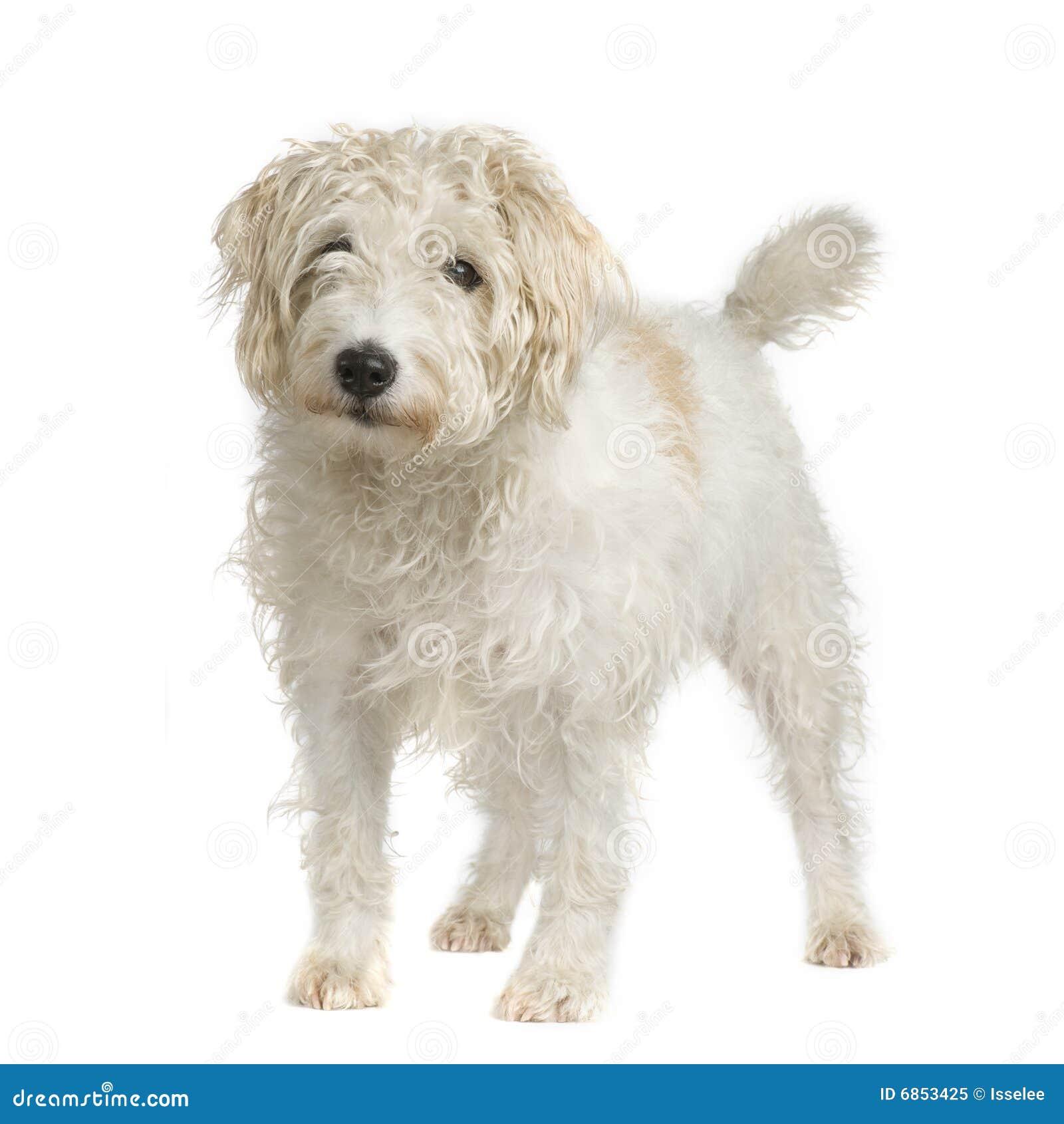 Terrier russell священника