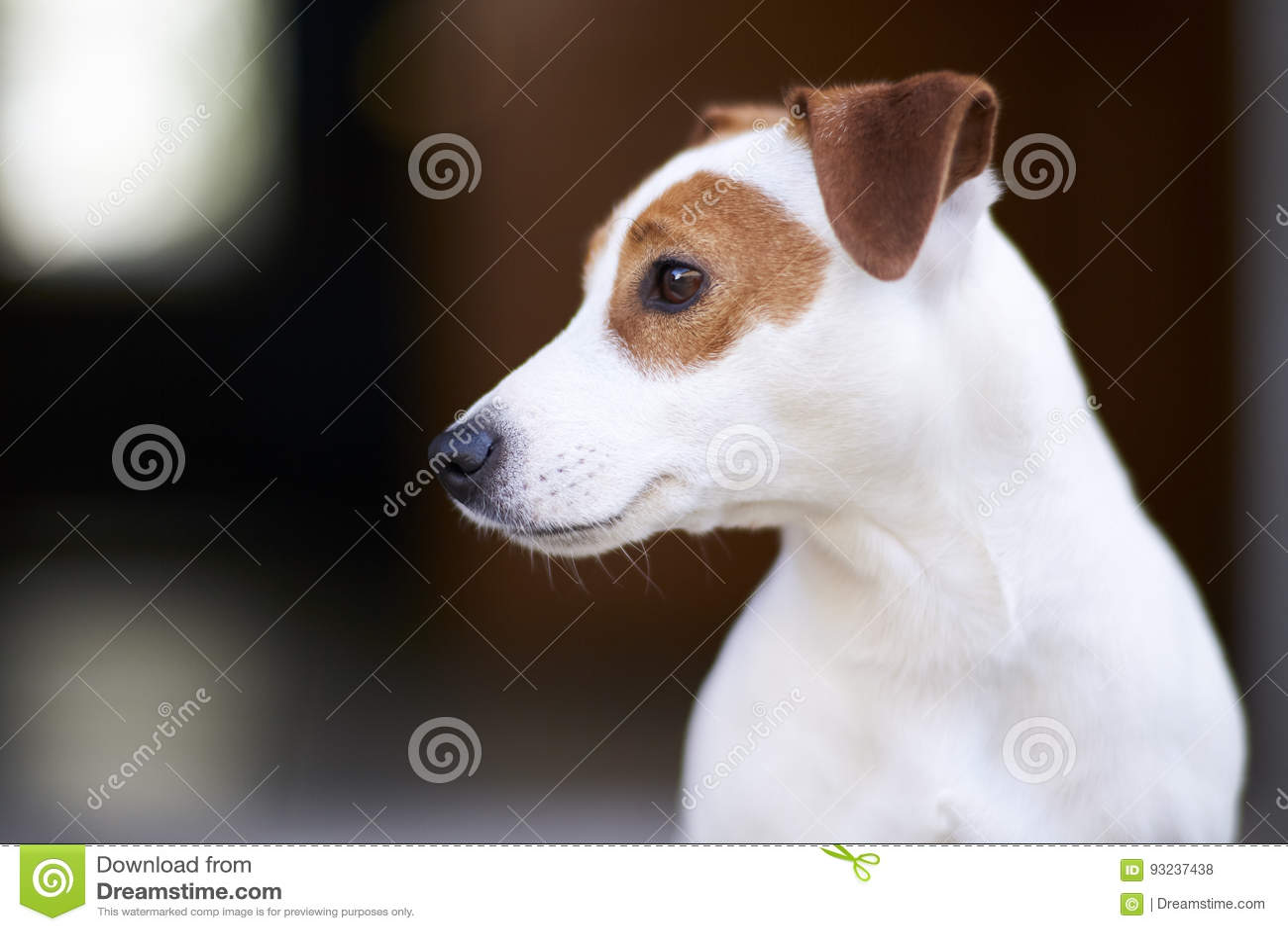 Terrier russell jack