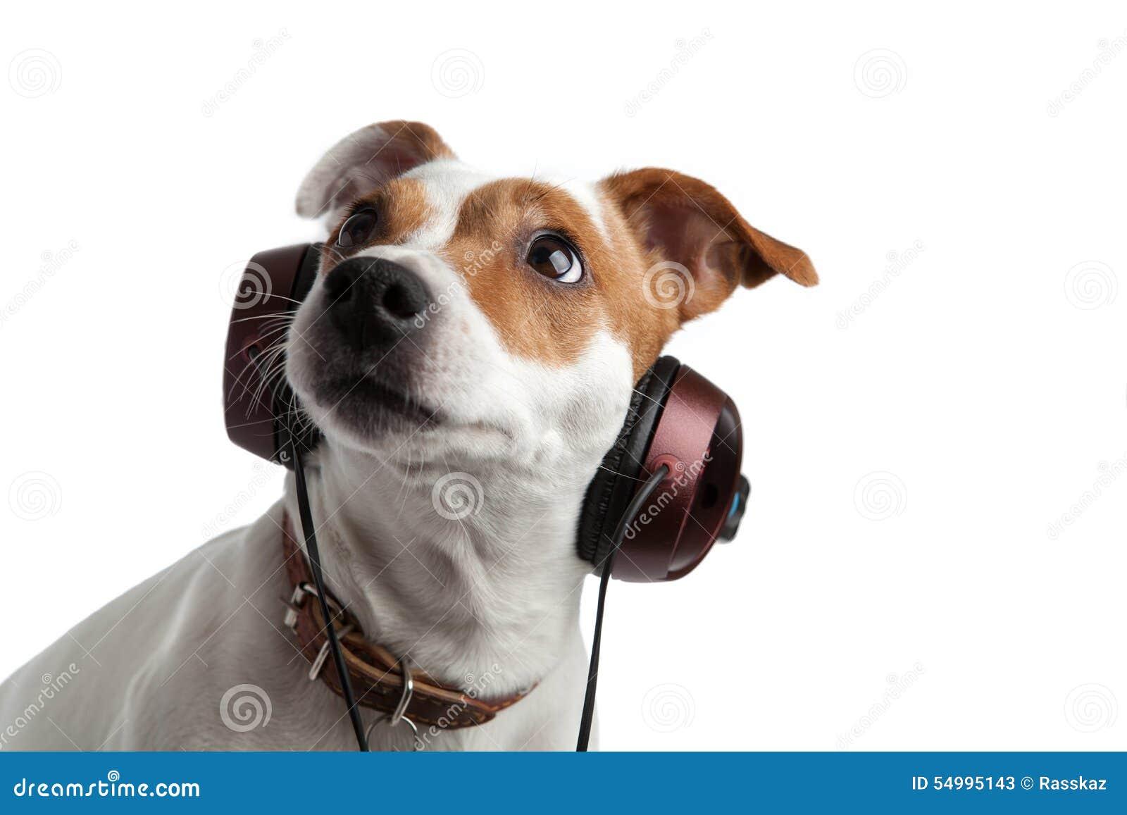 Terrier som lyssnar till musik på hörlurar