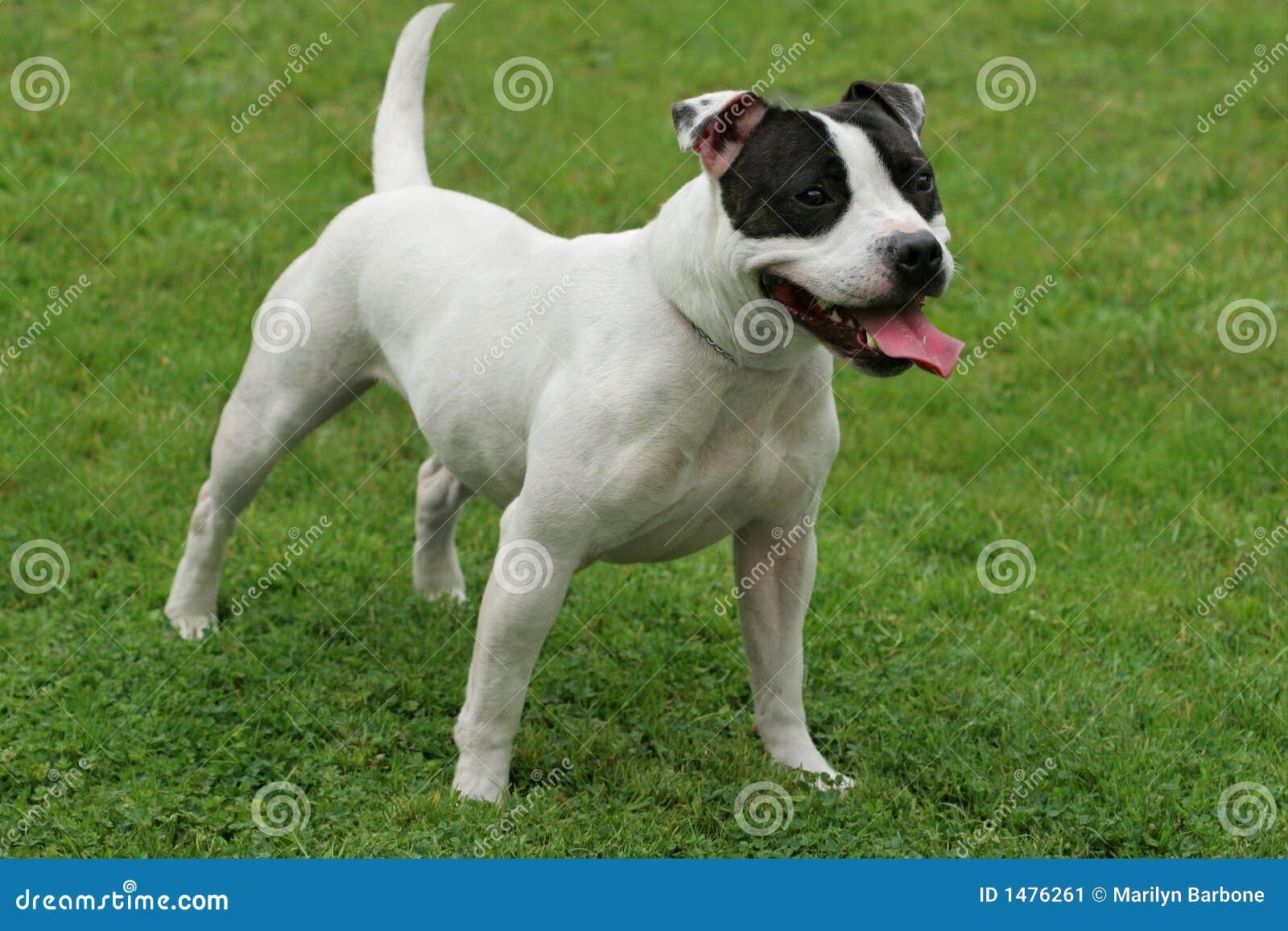 Terrier Staffordshire-Bull