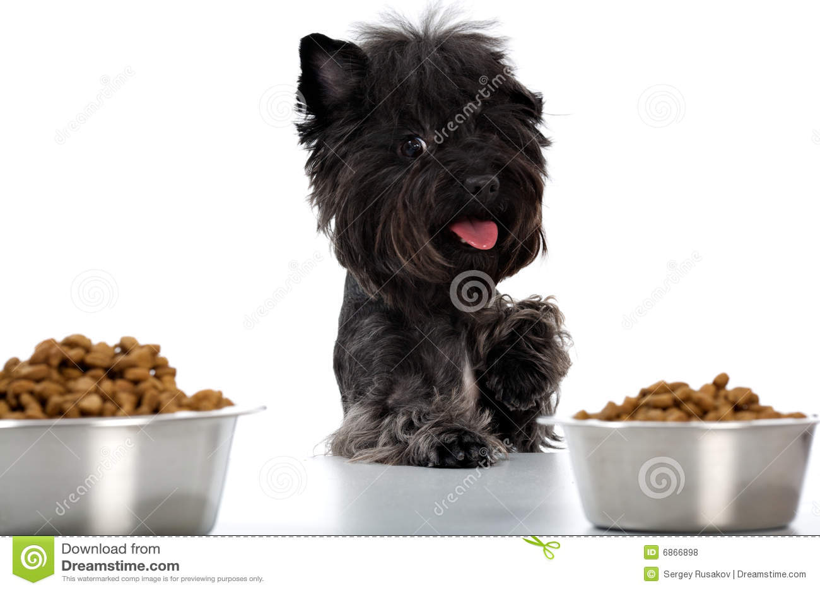 Terrier yorkshire еды