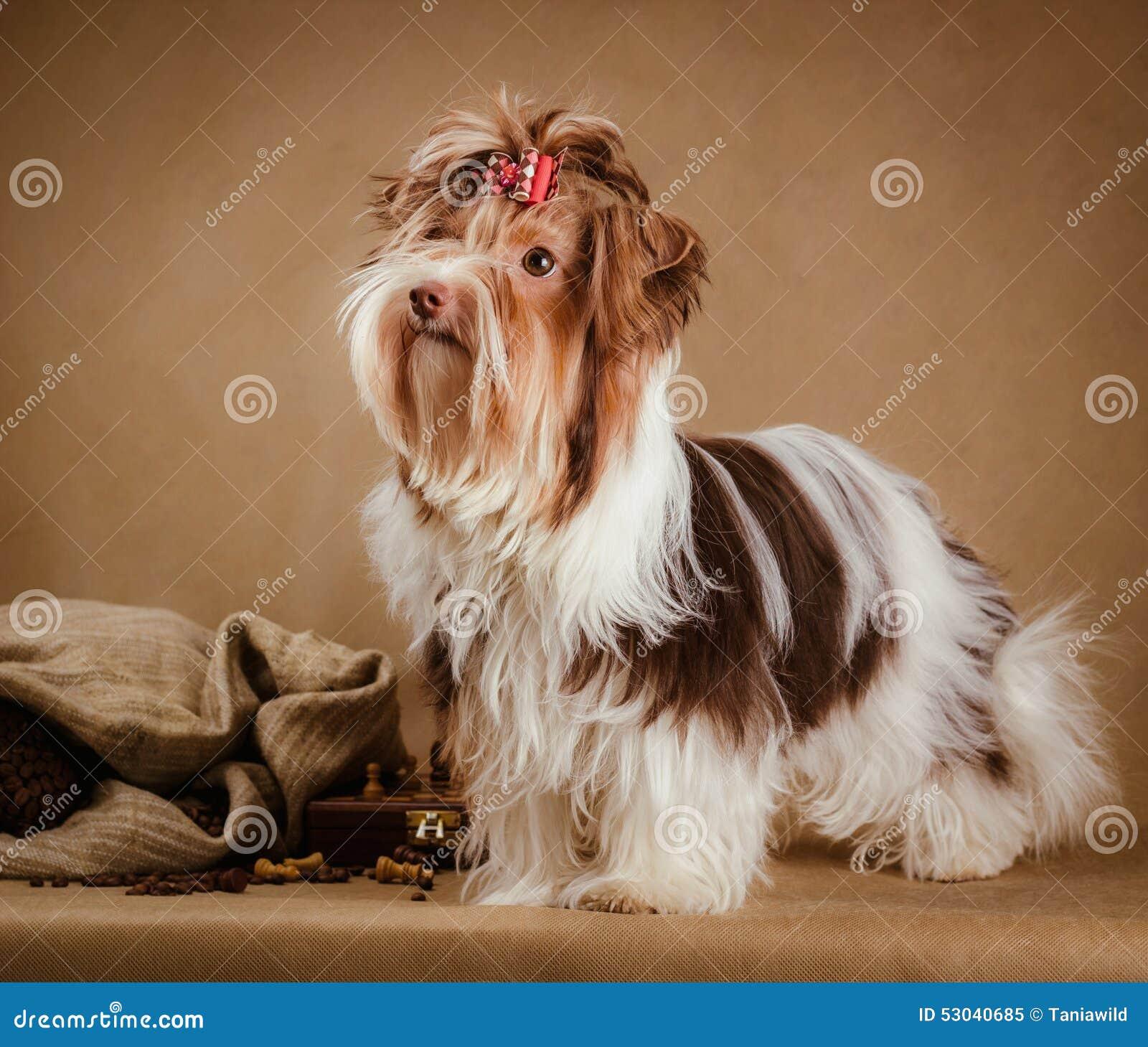 Terrierwelpe Biewer Yorkshire Auf Braunem Hintergrund Stockbild