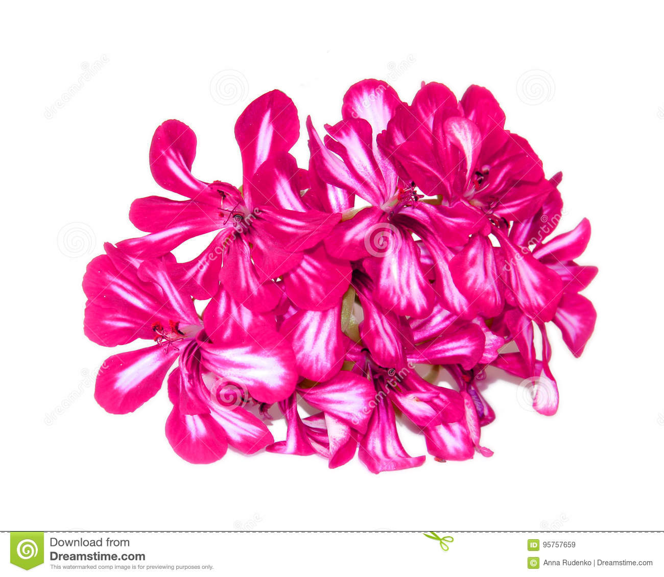Terry red decorative geranium perspective, fresh delicate flower