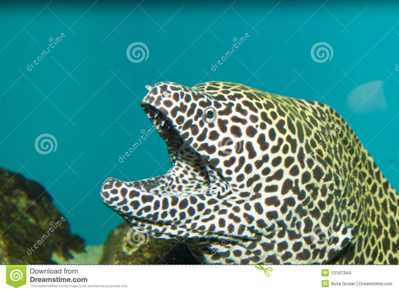 Tessalata eel in aquarium stock photo image of fish for Eel fish tank