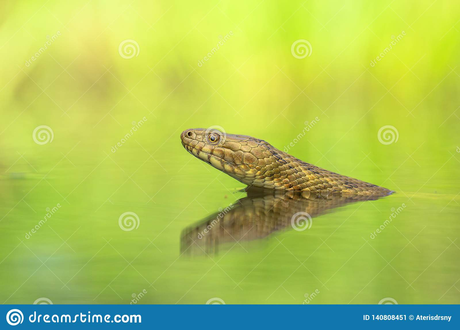 Tessellata ужа змейки кости в чехии