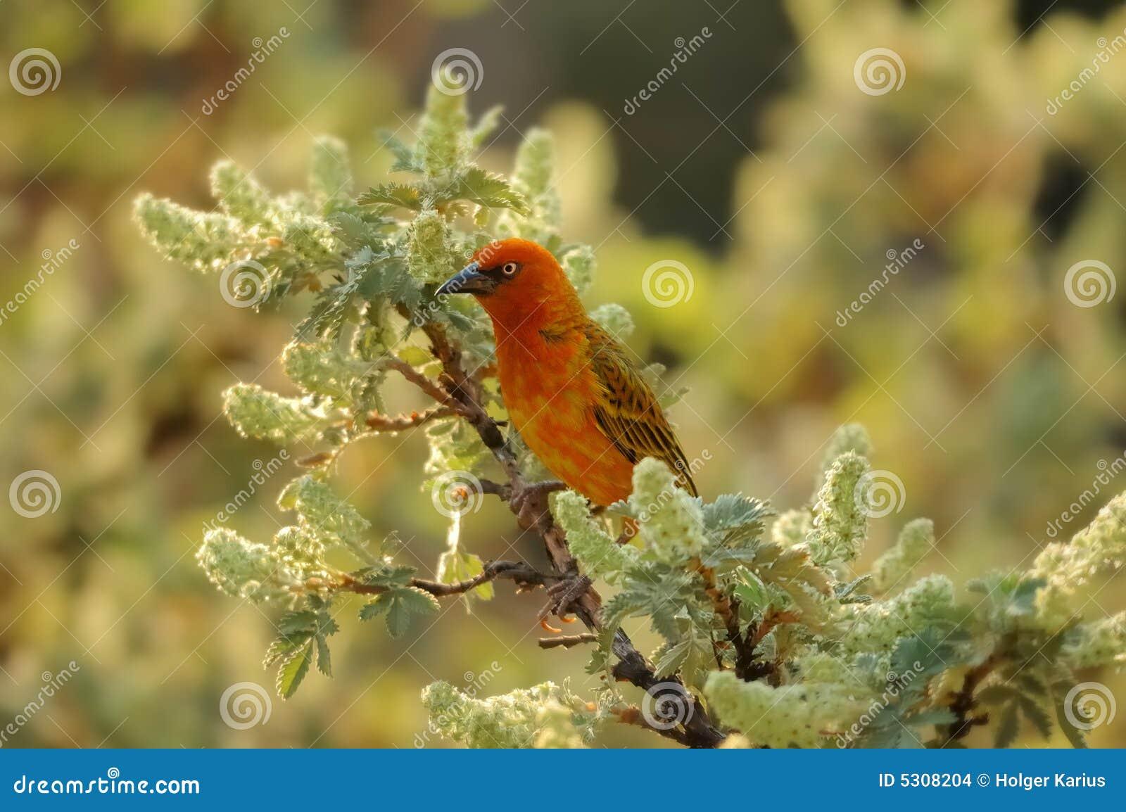 Download Tessitore Del Capo (capensis Del Ploceus) Fotografia Stock - Immagine di paesaggio, vista: 5308204