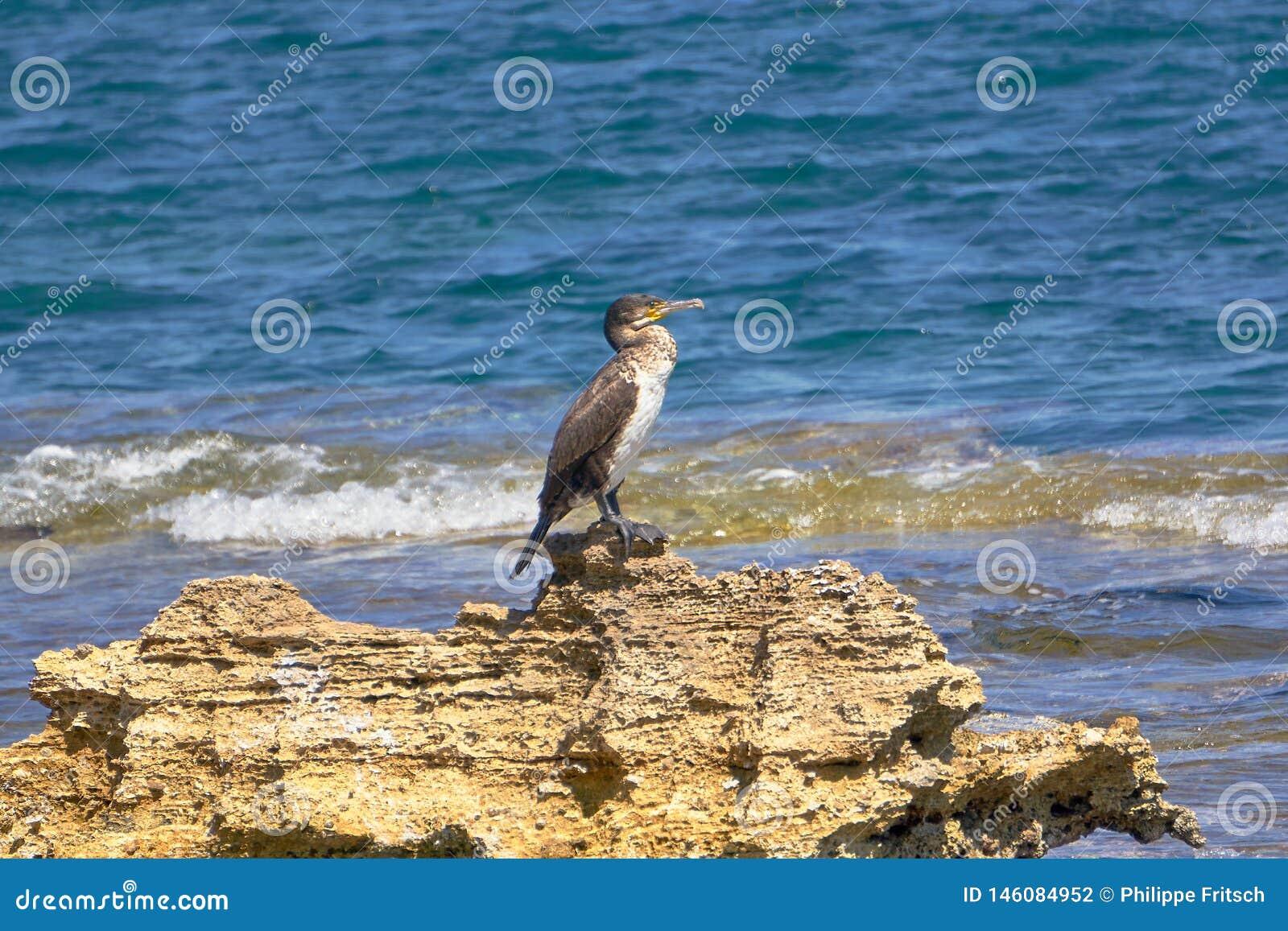 Tessuto felpato Mediterraneo - Phalacrocorax Aristotelis - che si siede su una roccia durante il Sunny Spring Day