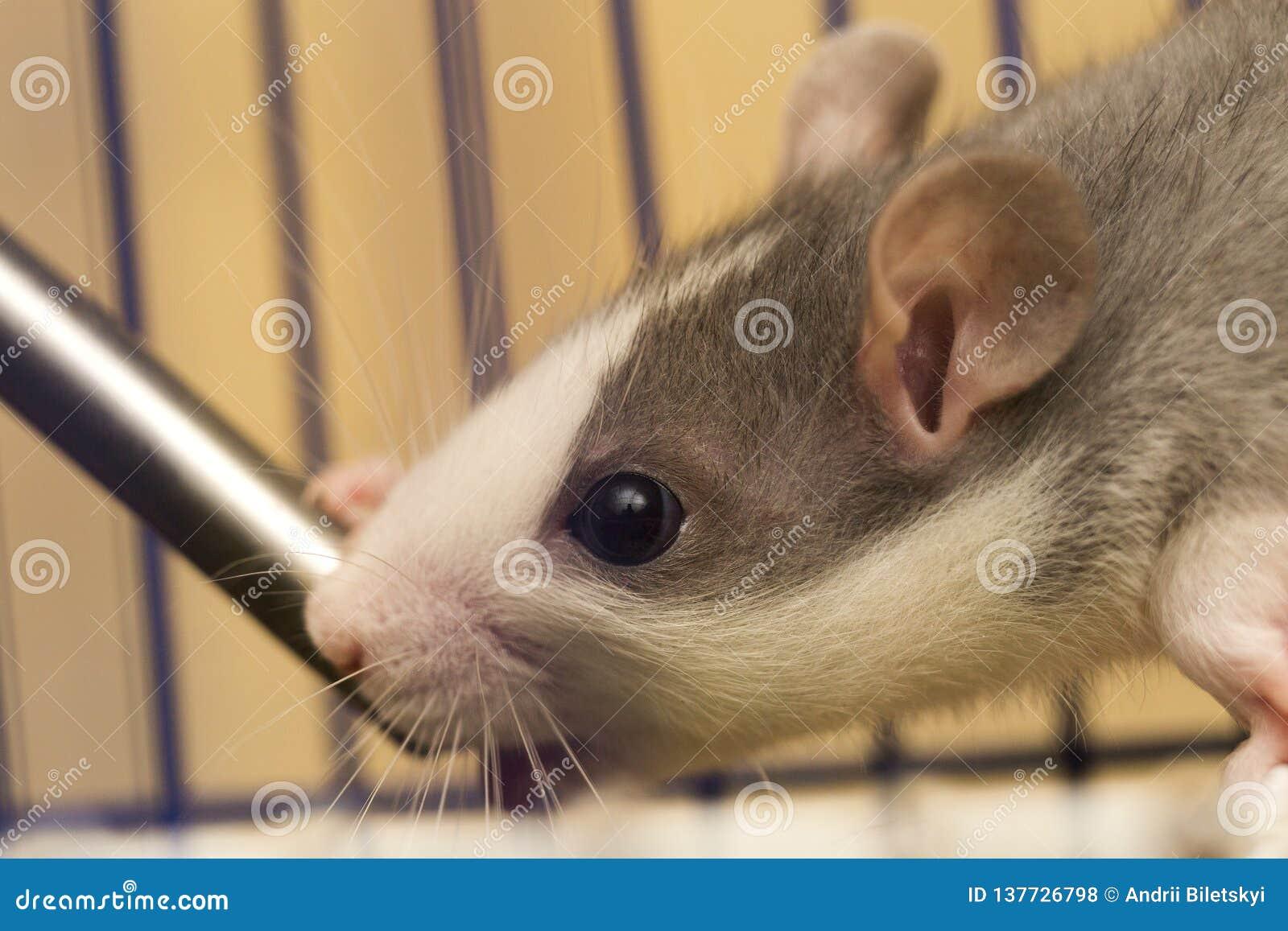 Testa del ritratto del primo piano del criceto curioso peloso addomesticato grigio bianco del topo con gli occhi brillanti su fon