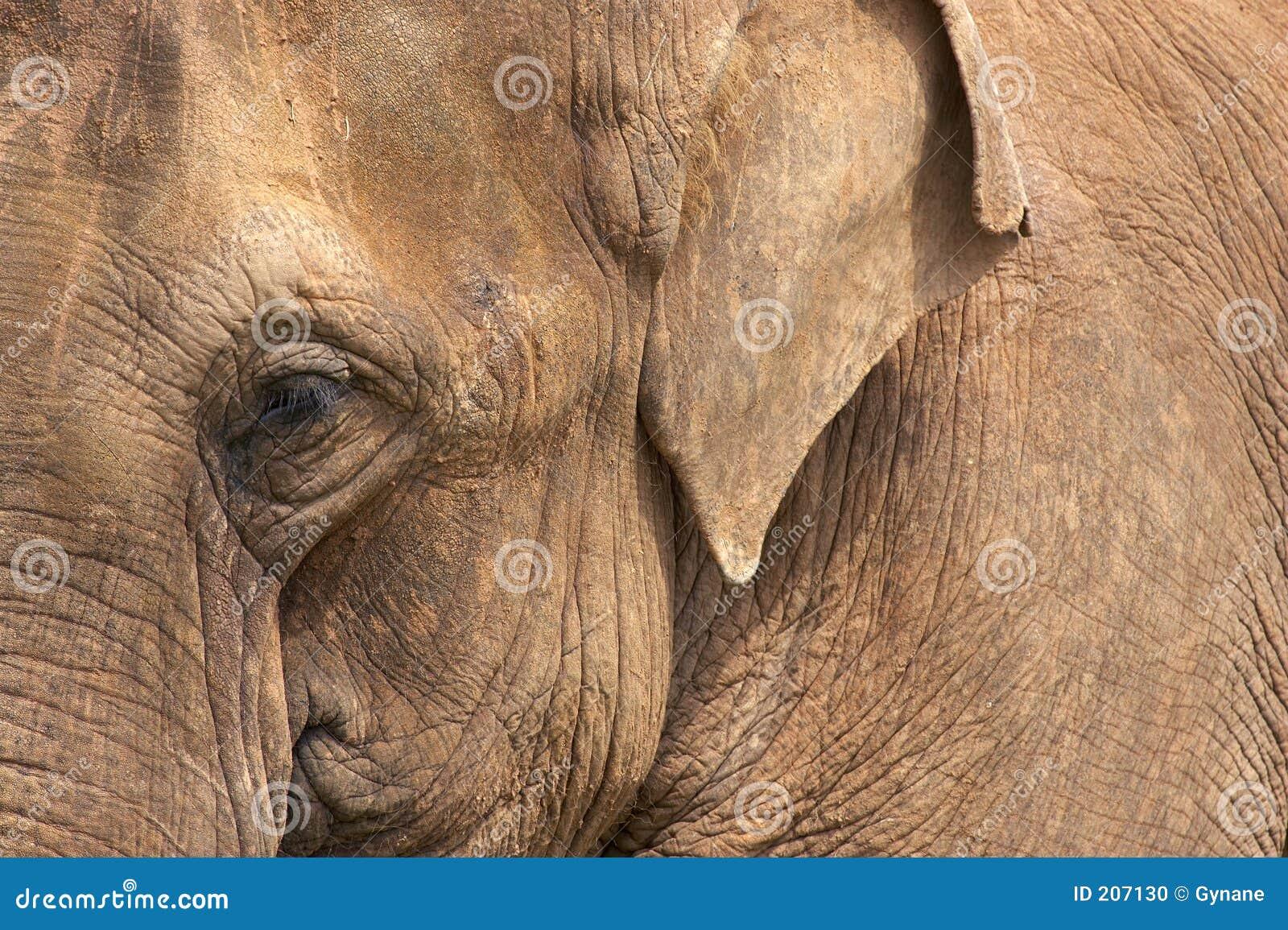 Testa dell elefante