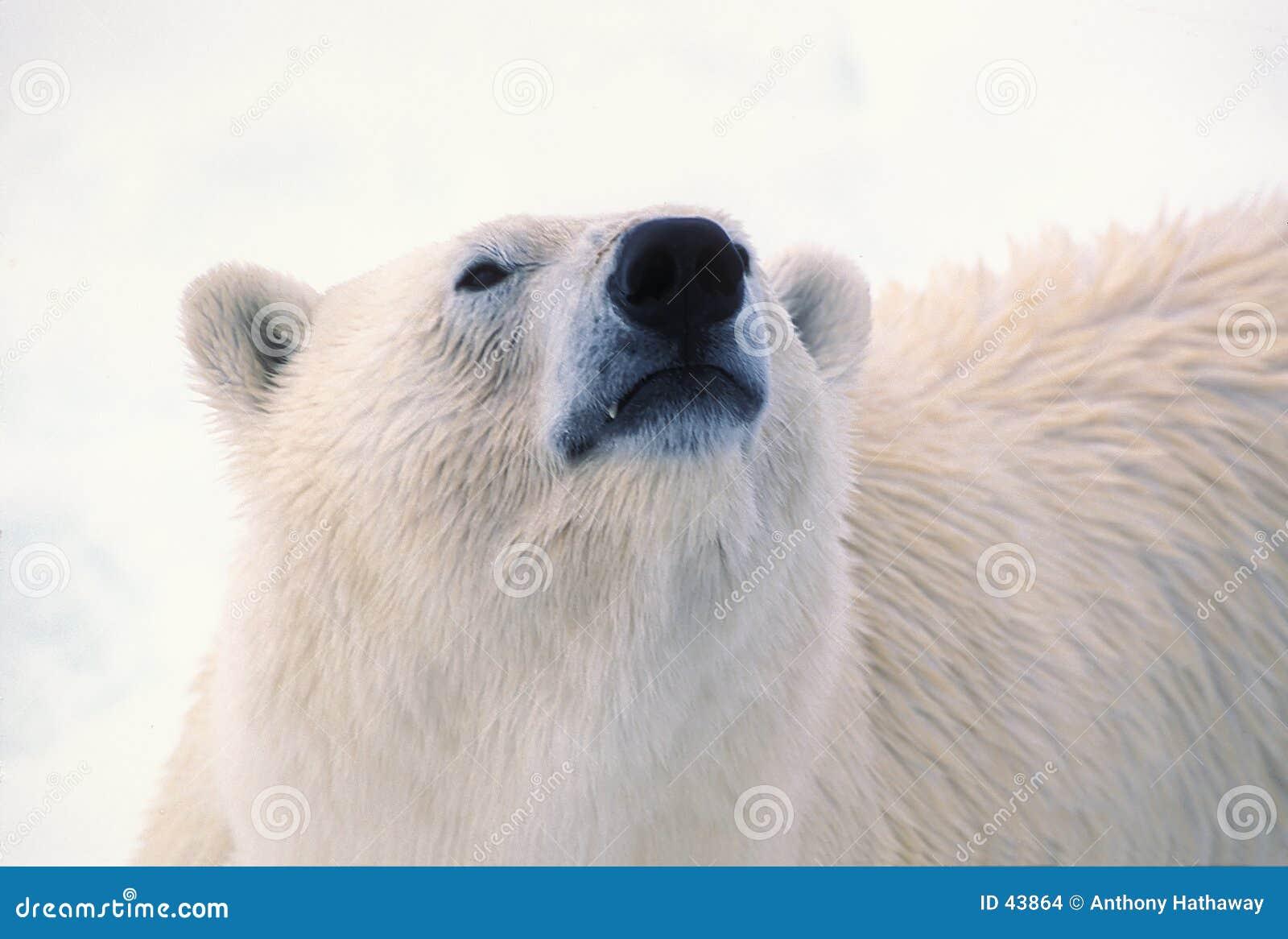 Testa dell orso polare