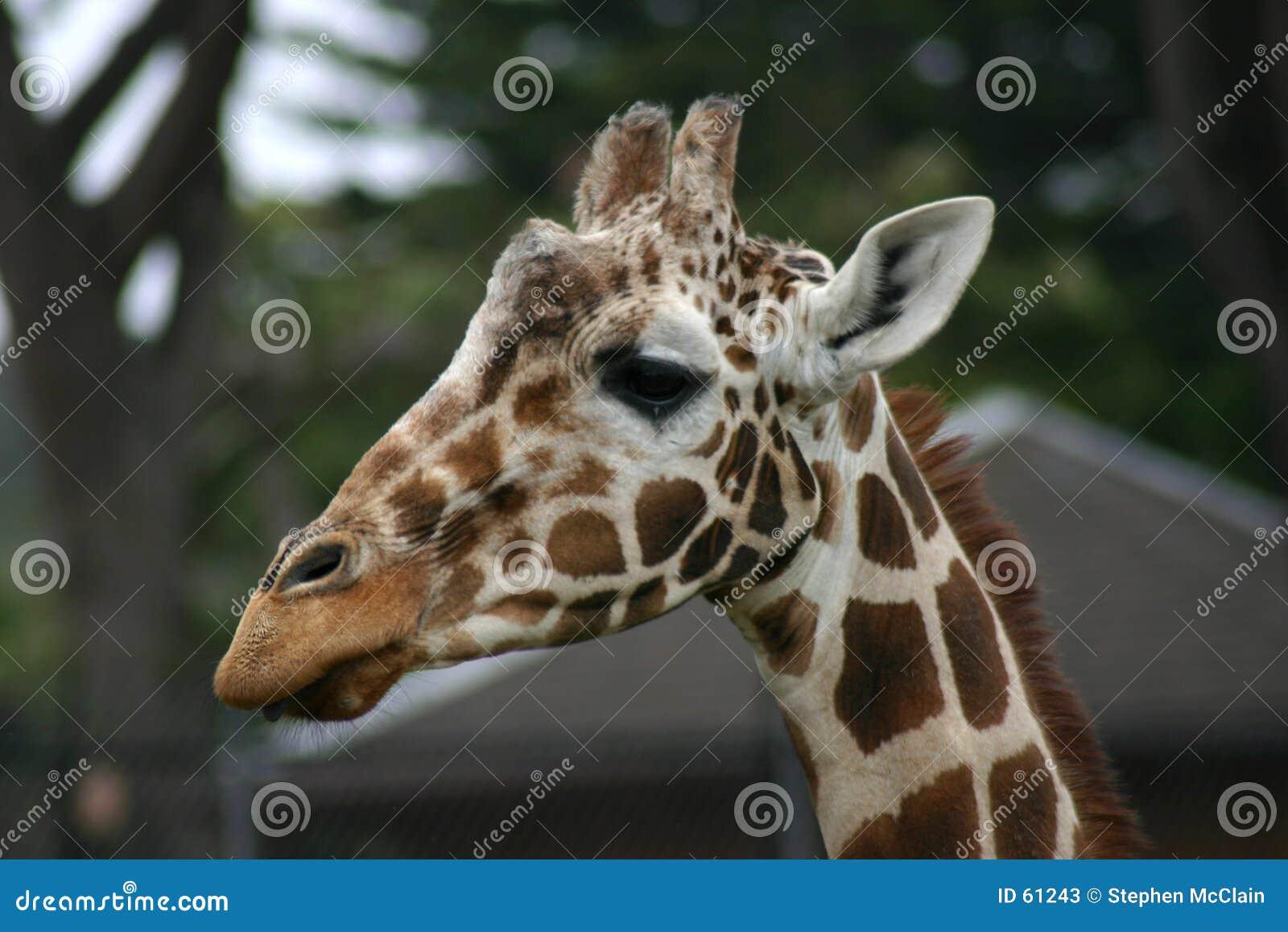 Testa della giraffa