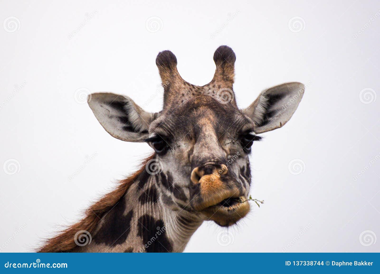 Testa della giraffa con il fronte divertente