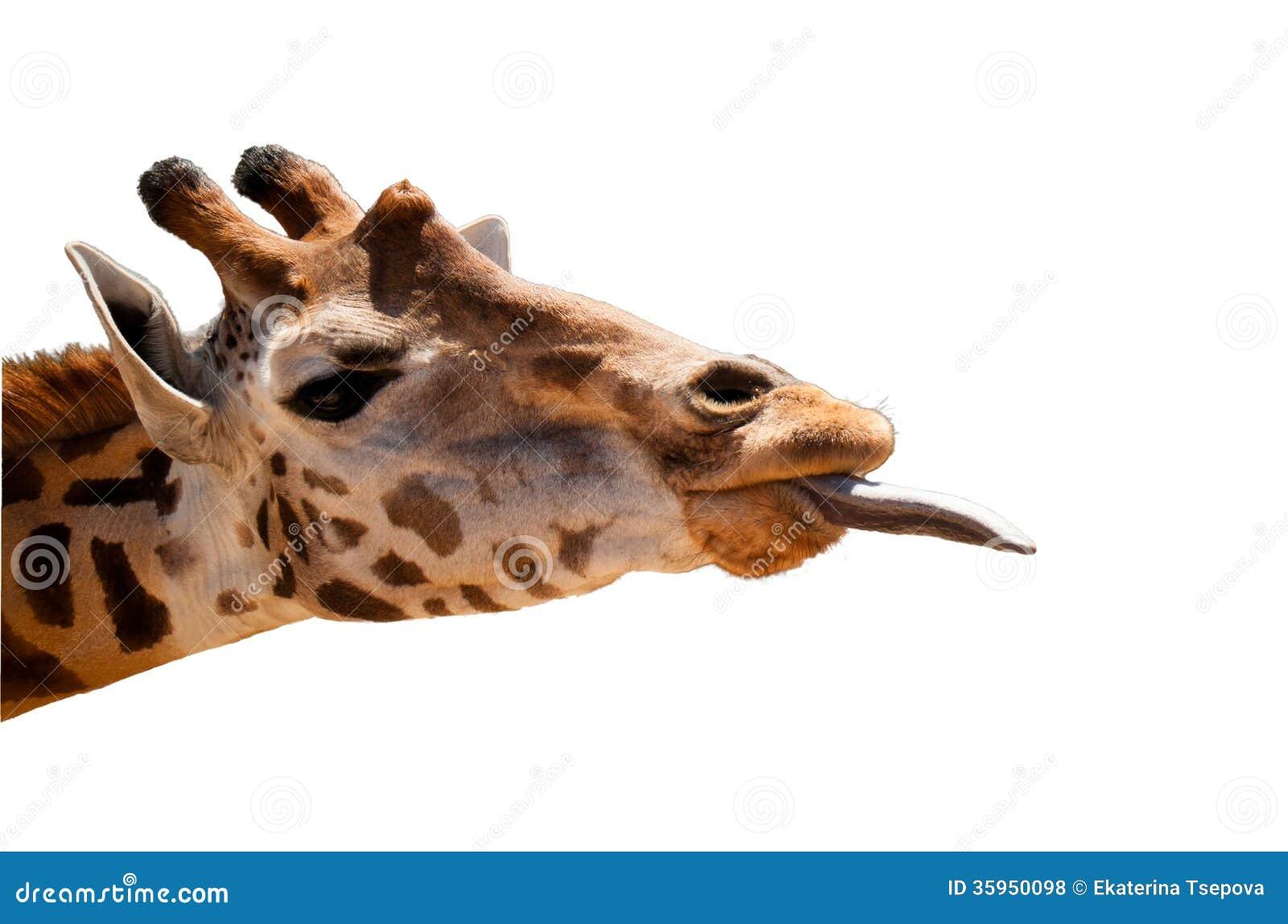 Testa della giraffa isolata