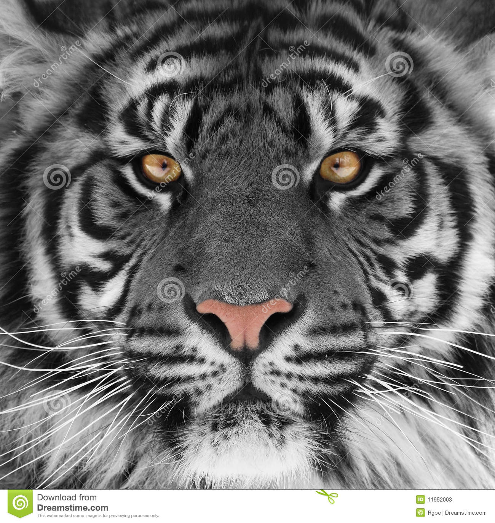 Testa della tigre