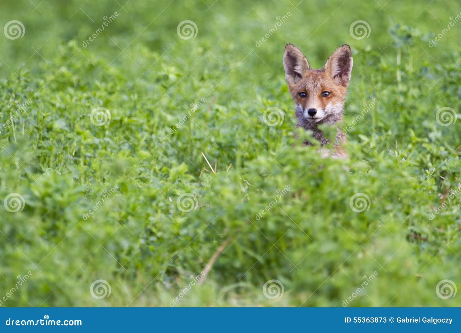 Testa della volpe del bambino