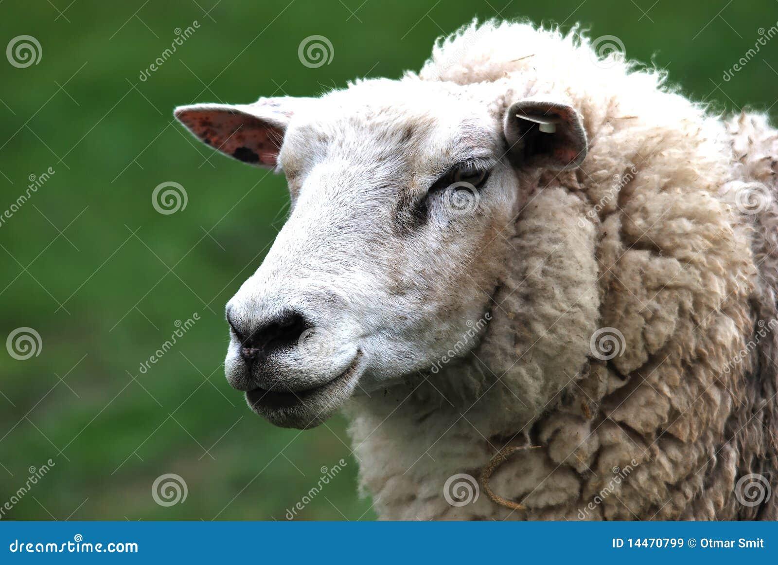 Testa delle pecore