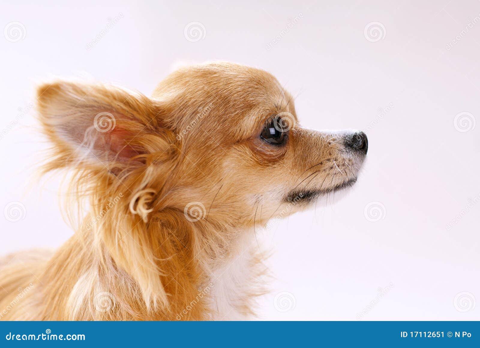 Testa Di Cane Della Chihuahua In Primo Piano Di Profilo
