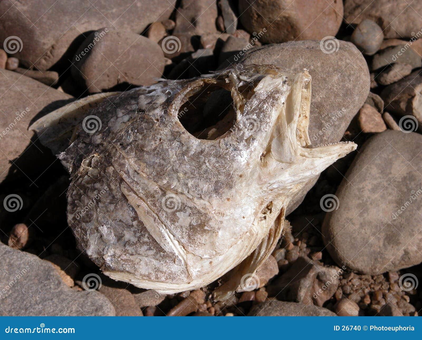 Testa di decomposizione dei pesci sulle rocce del fiume