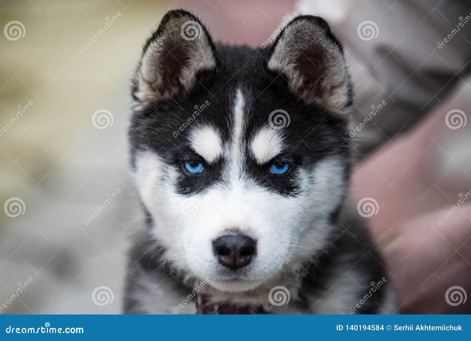 Testa favorita del cucciolo del husky siberiano un vecchio colpo in testa femminile di 8 settimane con il fondo della spiaggia sa