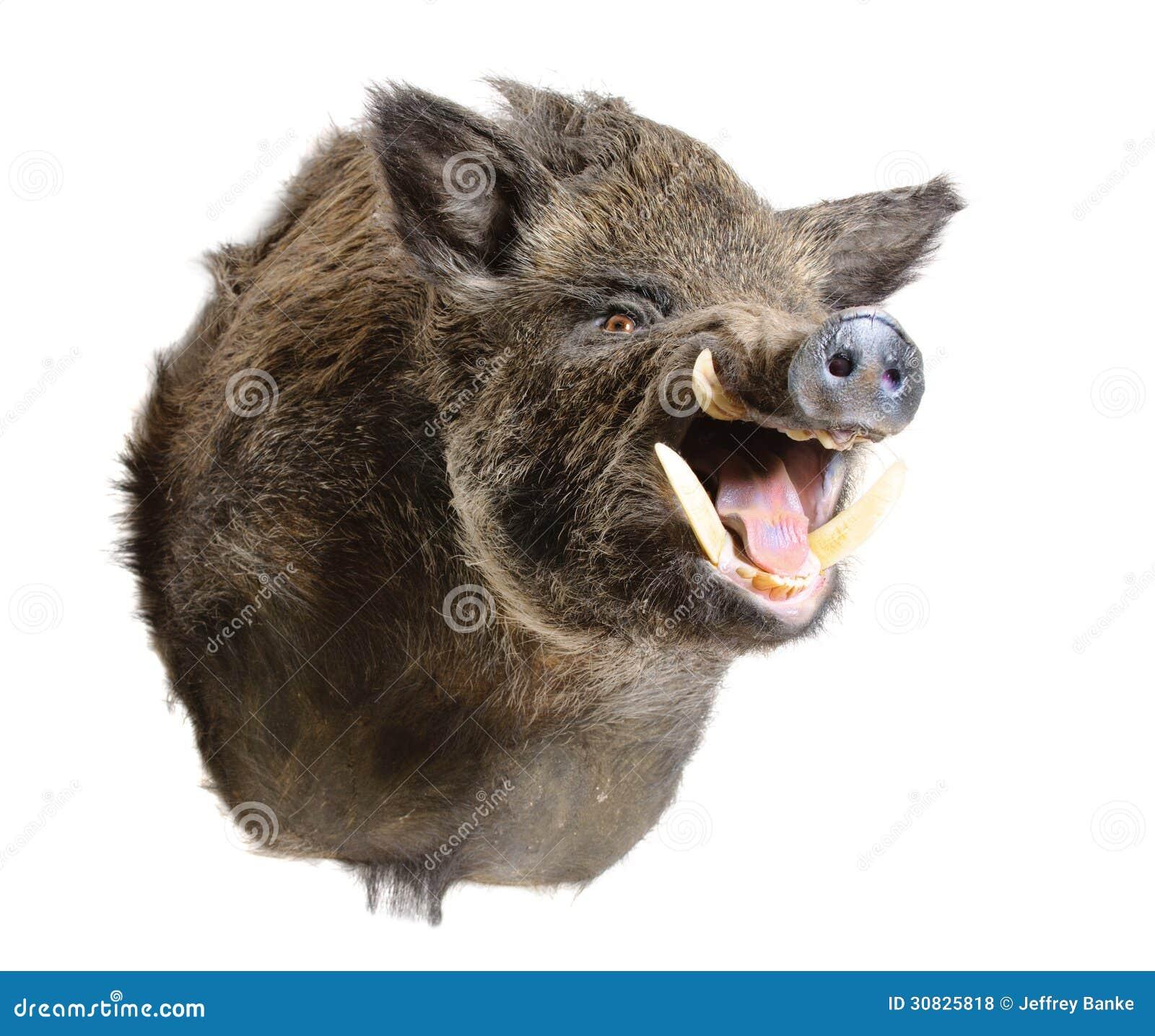 Testa selvaggia del maiale